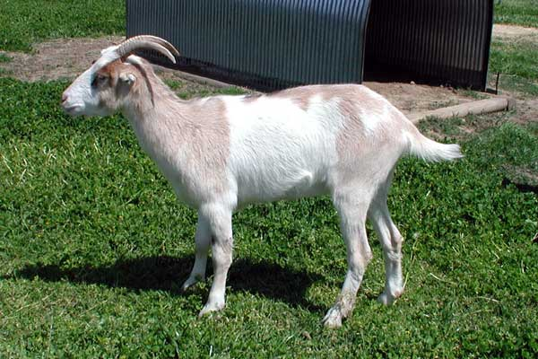 lamancha nubian goats - photo #10