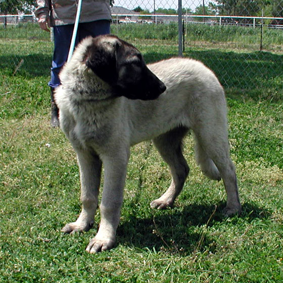 Founder of the Anatolian Shepherd Dog Club of America's (ASDCA) formal