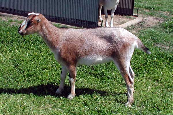 lamancha nubian goats - photo #6